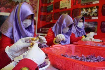 سهم زنان هرات در تولید طلای سرخ