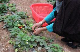 زنان یک گام به جلو؛ کشت وتولید توت فرنگی توسط یک زن در هرات