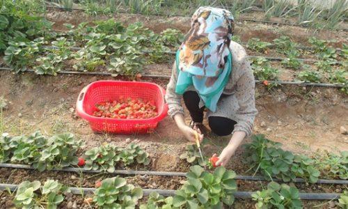 نبود بازار فروش؛ چالش اساسی زنان کشاورز