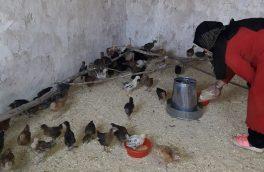 ایجاد ۵۰ فارم مرغداری برای زنان دامپرور در دو ولسوالی هرات