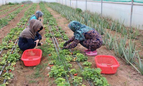 ادارۀ زراعت هرات: حضور زنان در صنعت کشاورزی افزایش یافته است
