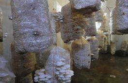 توصیههای لیلا در مورد پرورش و تولید قارچهای گلخانهای