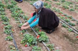 مکانیزه شدن زراعت؛ عامل افزایش زنان در صنعت کشاورزی