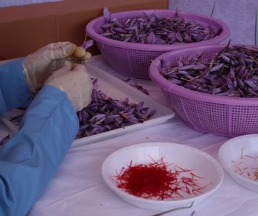 برگزاری جشنواره ملی گل زعفران در هرات